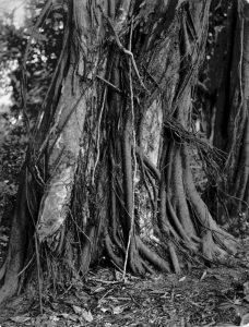 De boom GummiArabicum